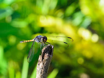 Dragonfly resting on a reed Stock Photos