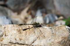 A dragonfly resting on a rock Royalty Free Stock Photo