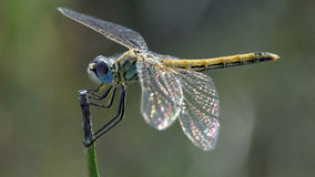 Dragonfly resting on a stem Stock Photography