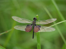 Dragonfly. Resting on stem in Zambia Stock Image