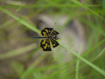 Dragonfly. Resting on stem in Zambia Stock Photography