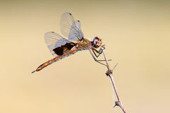 Dragonfly resting on a stick. With wings spread Royalty Free Stock Images