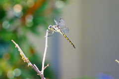 A dragonfly is resting Royalty Free Stock Photography