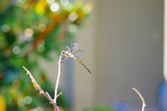 A dragonfly is resting Royalty Free Stock Photo