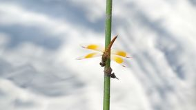 Dragonfly resting on the twig stock video footage