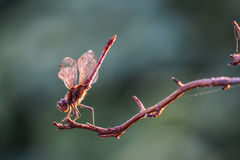 Dragonfly resting on a twig in the sun Royalty Free Stock Photos