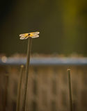 Dragonfly. A dragonfly rests atop a piece of bamboo Royalty Free Stock Image