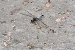 Dragonfly rests on the ground. Cute dragonfly rests on the ground Royalty Free Stock Images