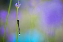 Dragonfly. A Dragonfly rests on the stem of a flower Royalty Free Stock Photo