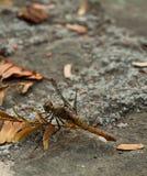 Dragonfly Rhyothemis Филлиса Стоковая Фотография RF