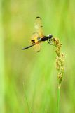 dragonfly (rhyothemis phyllis) Royalty Free Stock Photos
