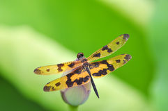 Dragonfly (Rhyothemis variegata arria) Fotografia Stock