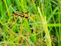 Dragonfly. In rice field Stock Images
