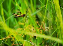 Dragonfly. In rice field Royalty Free Stock Photo