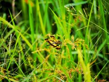 Dragonfly. In rice field Royalty Free Stock Photos