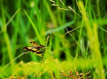 Dragonfly. In rice field Royalty Free Stock Image