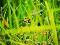 Dragonfly. In rice field Stock Photos