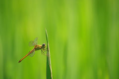 Dragonfly& Rice field1 Royalty Free Stock Images