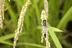 Dragonfly in rice paddy Royalty Free Stock Image