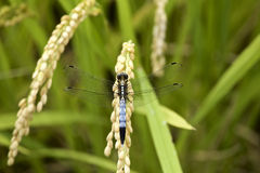 Dragonfly in rice paddy Royalty Free Stock Photos