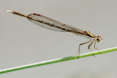dragonfly rośliny trzon zdjęcia stock