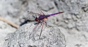 Dragonfly on rock Stock Images