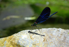 Dragonfly on rock Stock Image