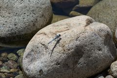 Dragonfly on a rock in a mountain stream Royalty Free Stock Photography
