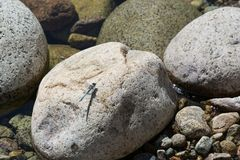 Dragonfly on a rock in a mountain stream Royalty Free Stock Photo