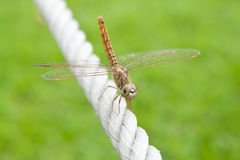 Dragonfly in the rope. Royalty Free Stock Images