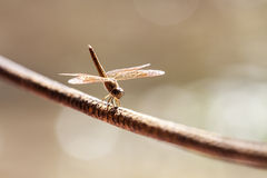 Dragonfly on a rope Royalty Free Stock Photos