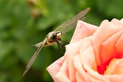 Dragonfly on the rose Royalty Free Stock Images