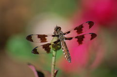 Dragonfly in the Rosegarden Royalty Free Stock Photo