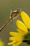 Dragonfly on rosinweed blossom Stock Photos
