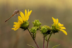 Dragonfly on rosinweed blossoms Royalty Free Stock Image