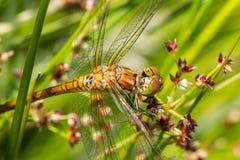 Dragonfly rudy darter. Macro of the dragonfly rudy darter (Sympetrum sanguineum stock photos