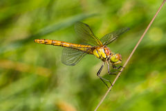 Dragonfly rudy darter. Macro of Dragonfly rudy darter (Sympetrum sanguineum Stock Photography