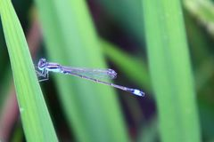 Dragonfly Ry?owe plantacje flora i fauny, obraz royalty free