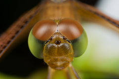 Dragonfly's face Royalty Free Stock Images