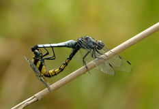 Dragonfly's love. The female and male dragonfly's color is dissimilar Royalty Free Stock Photos