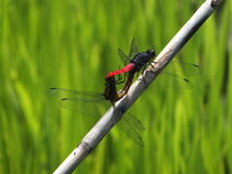 Dragonflys mating Royalty Free Stock Photography