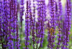 Dragonfly on salvia flowers stock images