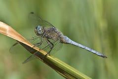 dragonfly samiec Obrazy Royalty Free