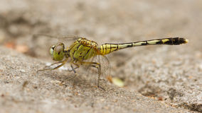 Dragonfly on sand Royalty Free Stock Photography