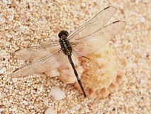 A Dragonfly on the Sand Stock Images