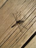 Dragonfly sat down to rest royalty free stock images