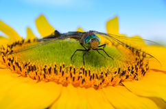 Dragonfly sat on a sunflower.  Stock Photo
