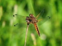 Dragonfly. Scarce chaser Libellula fulva. Dragonfly on stick. Scarce chaser Libellula fulva. Fauna of Ukraine stock photos