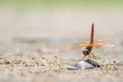 Dragonfly on sea shell Royalty Free Stock Photos