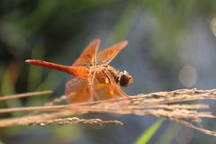 3dragonfly royalty free stock photography